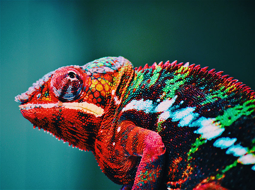 Rich colored chameleon