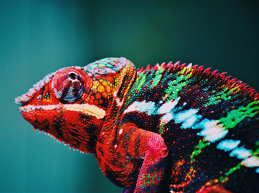 Veelkleurige kameleon in close-up
